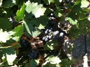 Grapes in the Concannon Vineyard