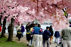 Tourists enjoy the annual cherry blossoms along the Tidal Basin